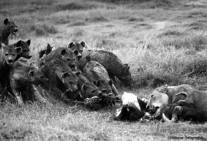 Hyenas try to steel dead buffalo from lions.